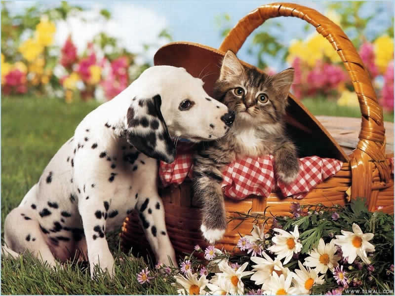 cute-puppy-cat-PIC-MCH055650 Dalmatian Puppies Wallpaper 34+