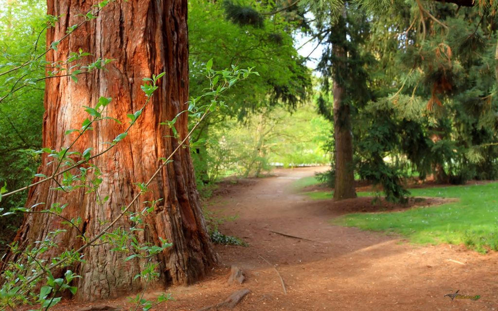 forest-tree-trail-nature-path-forest-pine-tree-summer-PIC-MCH064750-1024x640 Pine Tree Wallpaper Hd 18+