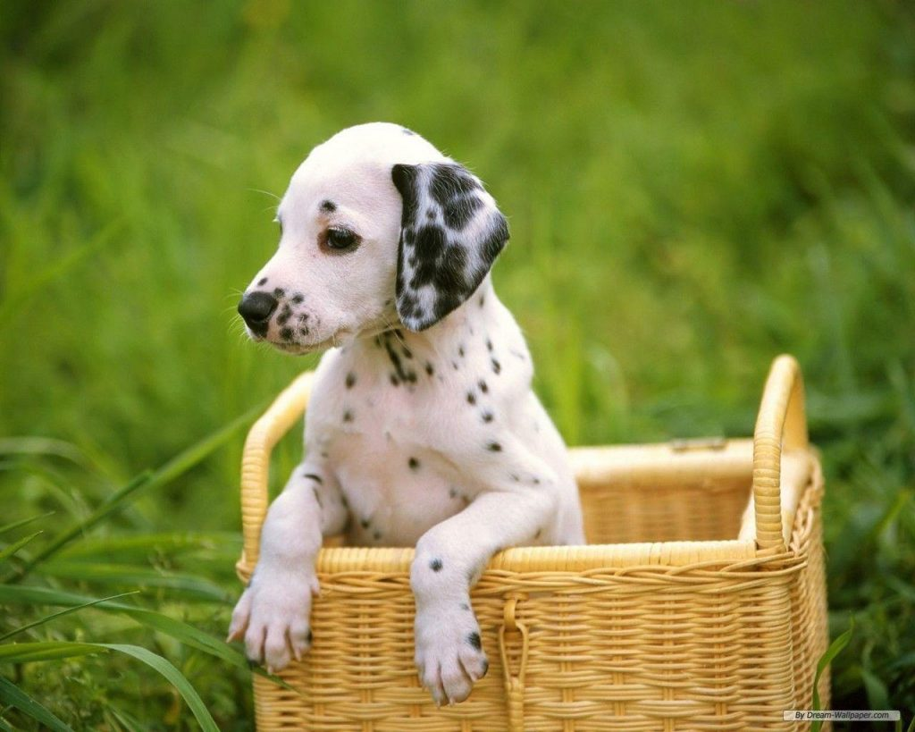 iXTByNb-PIC-MCH078126-1024x819 Dalmatian Puppies Wallpaper 34+