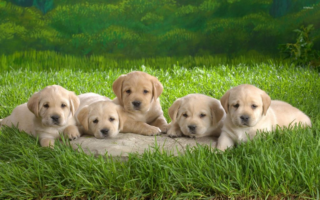 labrador-puppies-x-PIC-MCH081037-1024x640 Dalmatian Puppies Wallpaper 34+