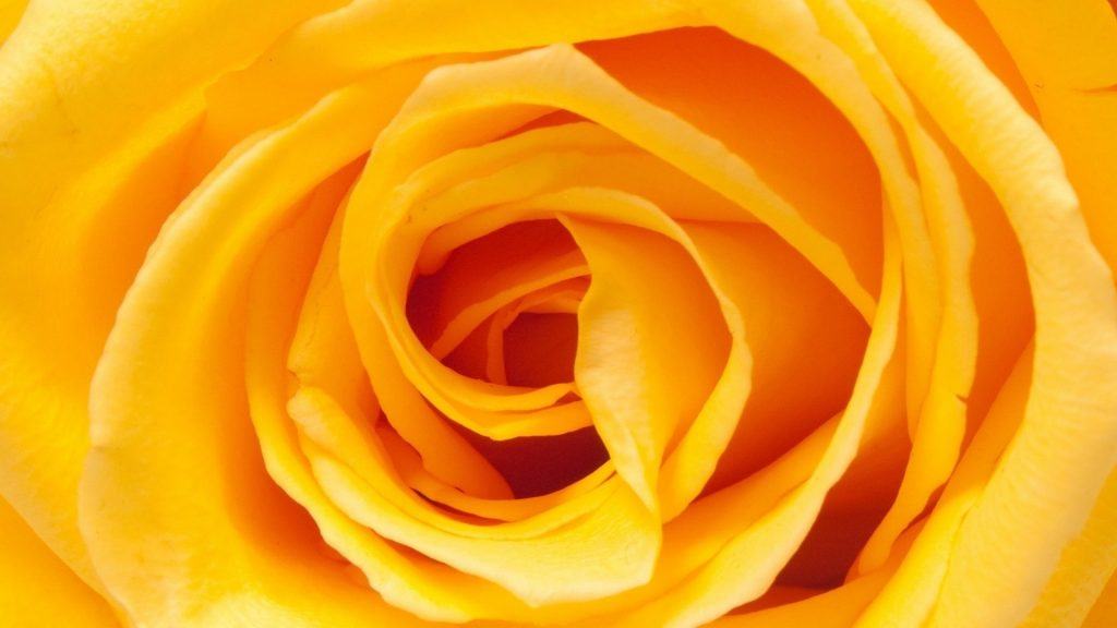 most-popular-yellow-rose-wallpaper-x-PIC-MCH036713-1024x576 Yellow Rose Wallpaper 22+