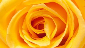 Yellow Rose Wallpaper 22+