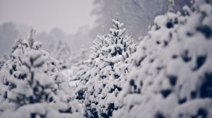 Pine Tree Snow Wallpaper 30+