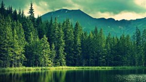 Pine Tree Forest Wallpaper 26+