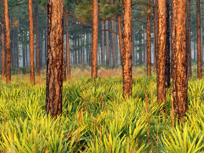 pinetrees-PIC-MCH095068 Pine Tree Wallpaper Background 29+