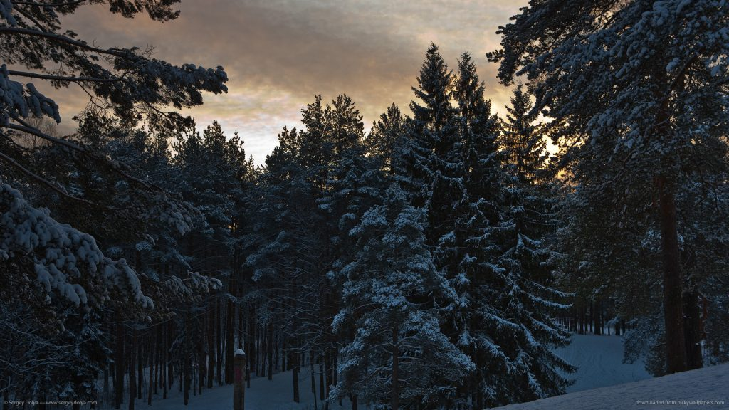 snowy-pine-trees-PIC-MCH0102798-1024x576 Pine Tree Wallpaper Background 29+