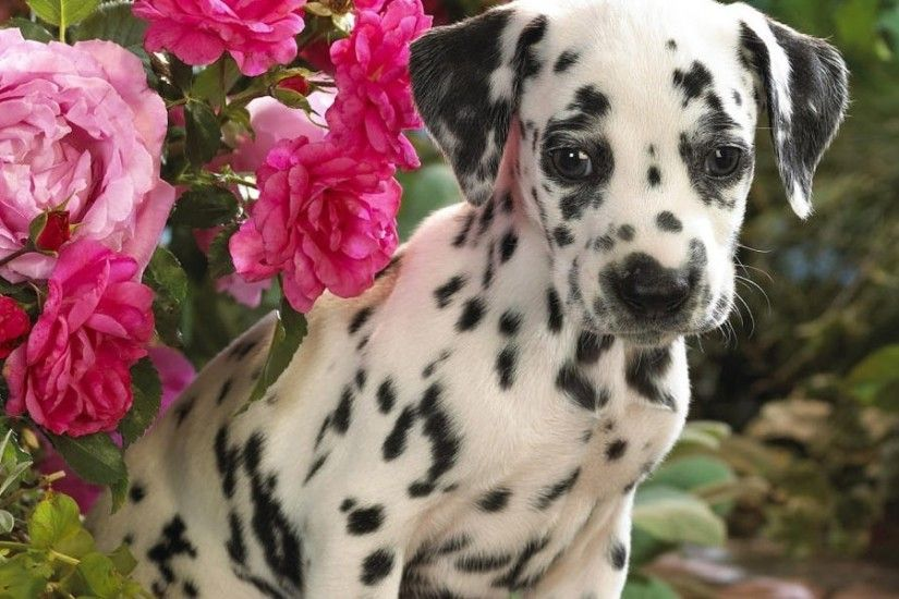 widescreen-dalmatian-background-x-for-tablet-PIC-MCH028769 Dalmatian Puppies Wallpaper 34+