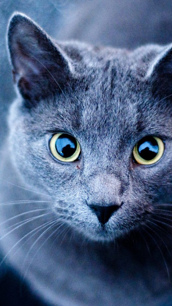 ws-Blue-Cat-Green-Eyes-x-PIC-MCH0118731-576x1024 Samsung Galaxy S3 Wallpapers 720x1280 36+