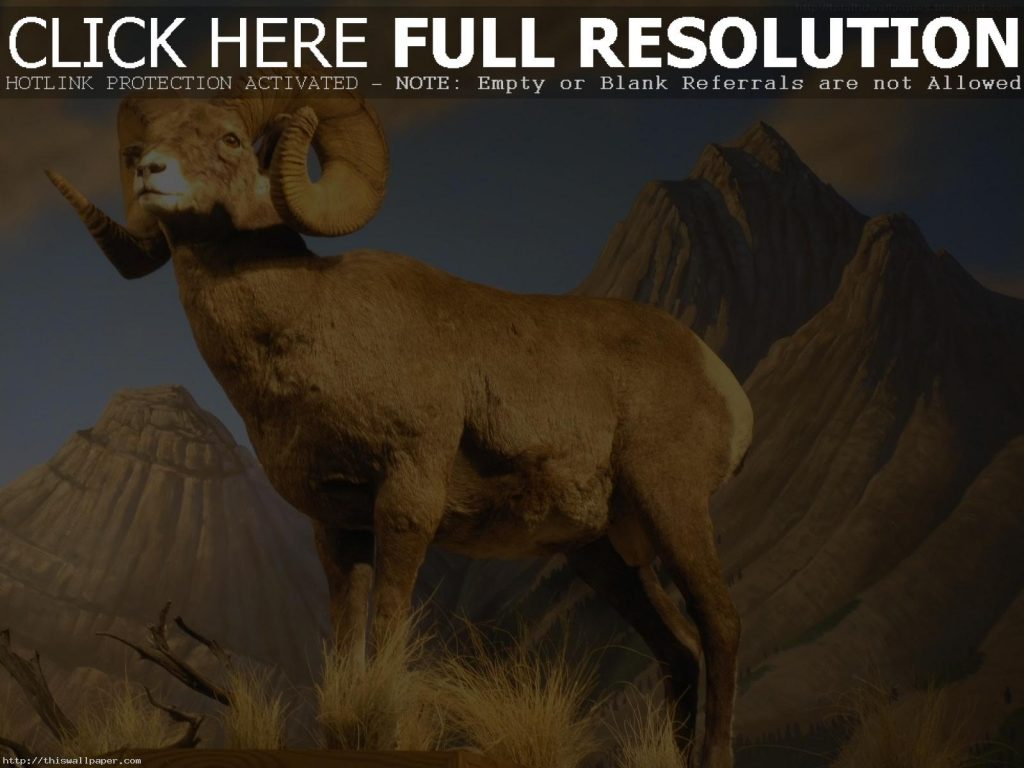 American-bighorn-sheep-beautiful-PIC-MCH039904-1024x768 Sheep Wallpaper Hd 40+