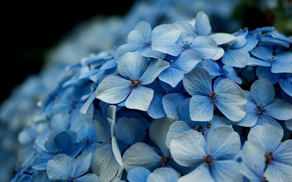 BLQawK-PIC-MCH047987-1024x640 Hydrangea Wallpaper Iphone 28+