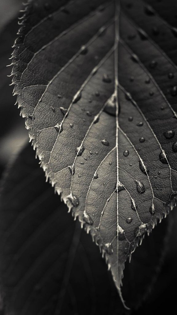 Black-And-White-Closeup-Leaf-Dew-Drops-Android-Wallpaper-PIC-MCH046875-576x1024 Free Black Wallpaper For Android 35+