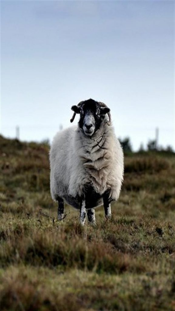 Curious-Sheep-Animal-x-wallpapers-PIC-MCH055100-577x1024 Sheep Wallpaper Iphone 32+