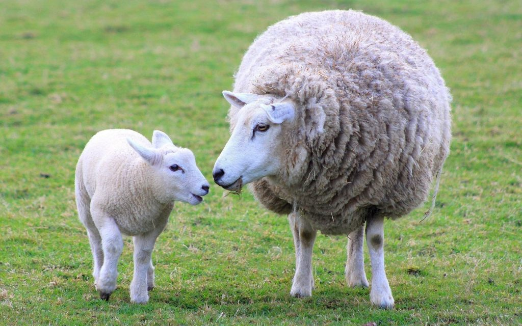 Ewe-and-Lamb-sheep-PIC-MCH062528-1024x640 Sheep Wallpaper Hd 40+