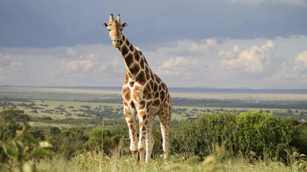 Giraffe-HD-Desktop-PIC-MCH068482-1024x576 Giraffe Hd Wallpapers For Pc 47+