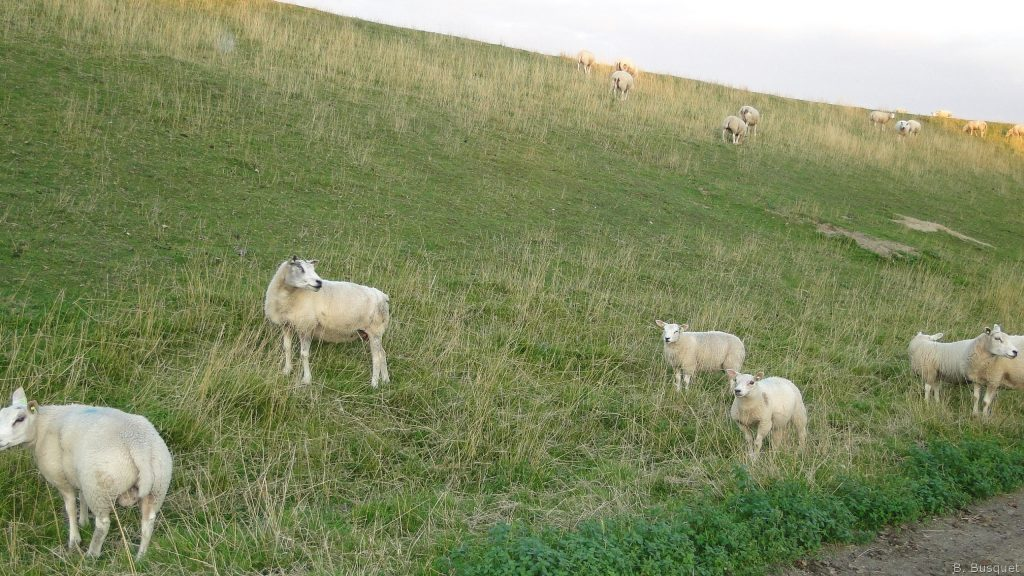 HD-wallpaper-sheep-on-a-dike-PIC-MCH072438-1024x576 Sheep Wallpaper Hd 40+