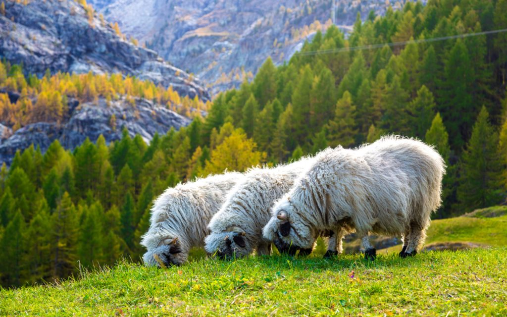 PIC-MCH012464-1024x640 Sheep Wallpaper Hd 40+