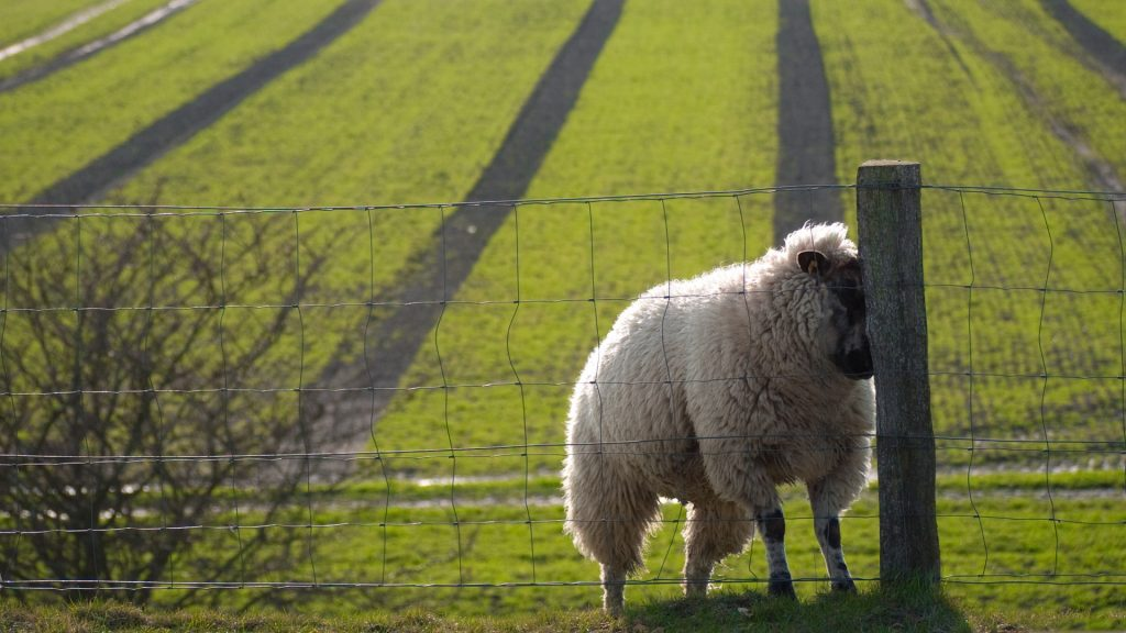 PIC-MCH015257-1024x576 Sheep Wallpaper Hd 40+