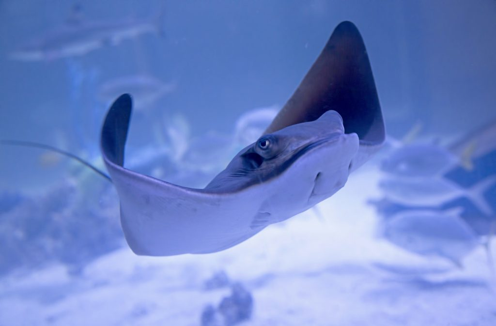 PIC-MCH026089-1024x673 Stingray Fish Wallpaper 30+