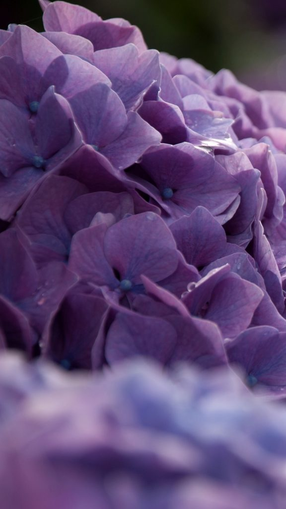 PIC-MCH027436-576x1024 Hydrangea Wallpaper Iphone 28+