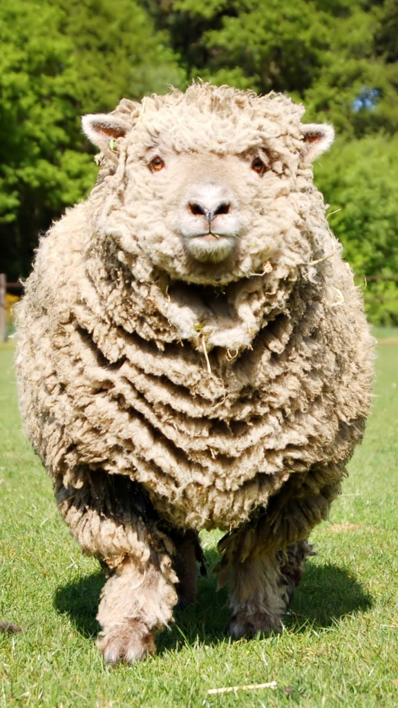 PIC-MCH027989-576x1024 Sheep Wallpaper Iphone 32+