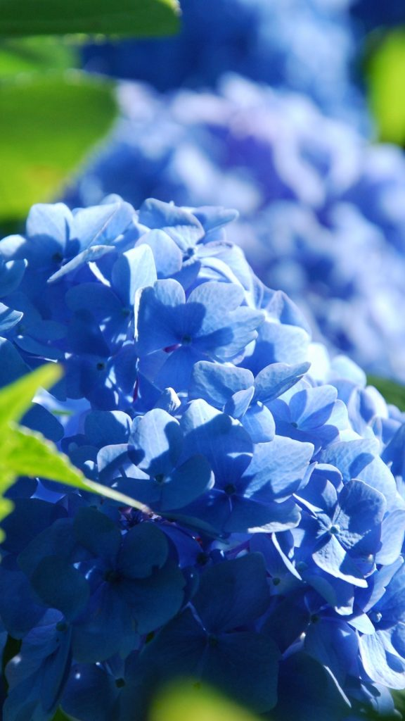 PIC-MCH031066-576x1024 Hydrangea Wallpaper Iphone 28+