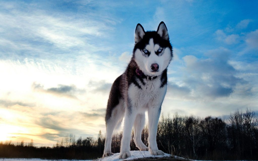 Siberian-Husky-Wallpapers-PIC-MCH0101591-1024x640 Top 5 Best Hd Wallpapers 39+