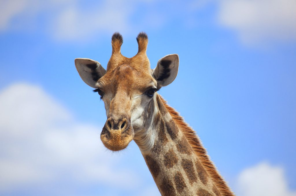 animal-giraffe-awesome-background-image-PIC-MCH040430-1024x680 Giraffe Hd Wallpapers For Pc 47+
