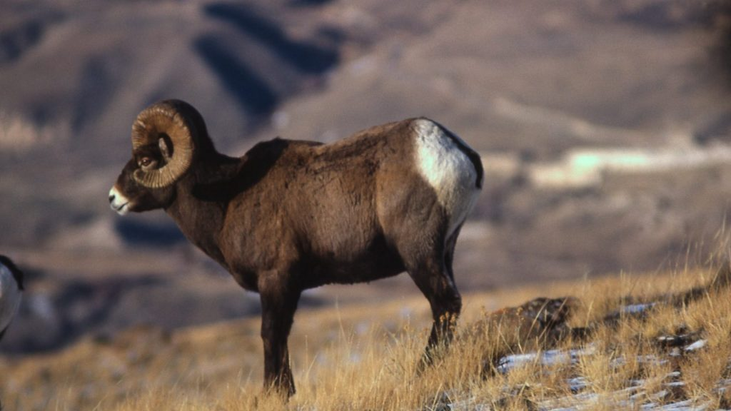 animals-bighorn-sheep-hd-wallpapers-p-x-PIC-MCH040464-1024x576 Sheep Wallpaper Iphone 32+