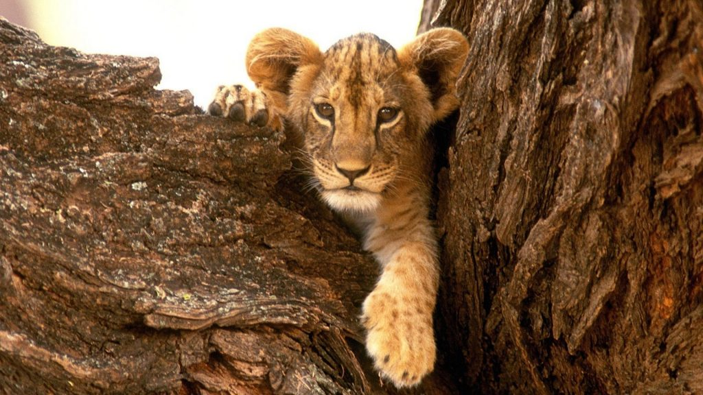 baby-animals-lions-furry-nature-wildlife-national-geographic-wallpaper-PIC-MCH043158-1024x576 Nat Geo Wallpaper Ipad 38+