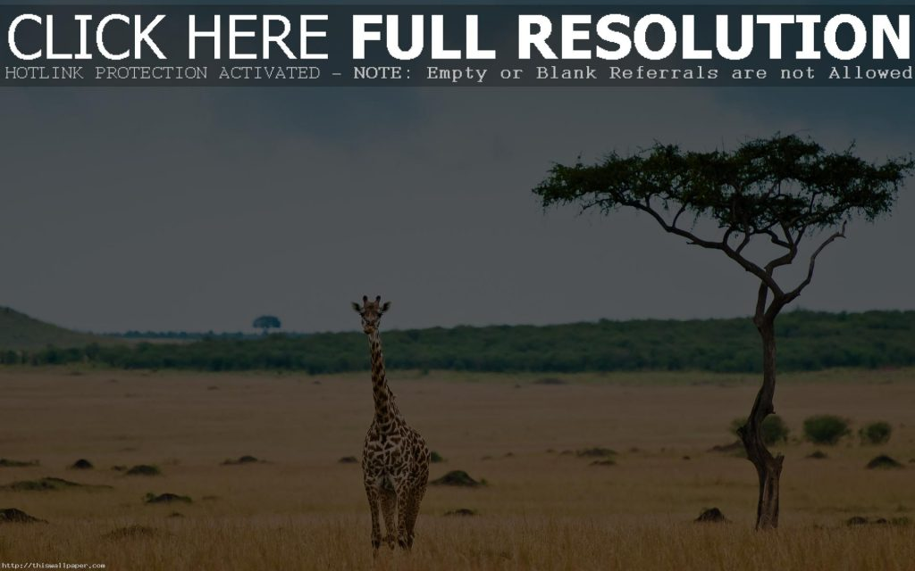 beautiful-giraffe-wallpaper-PIC-MCH044638-1024x640 Giraffe Hd Wallpapers For Pc 47+