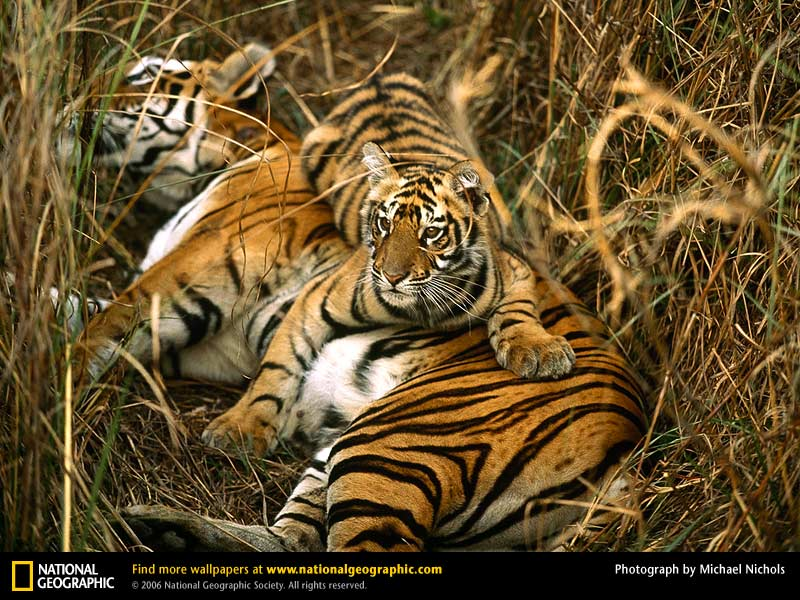bengal-tigers-two-cubs-PIC-MCH045562 Nat Geo Wallpaper Mac 33+