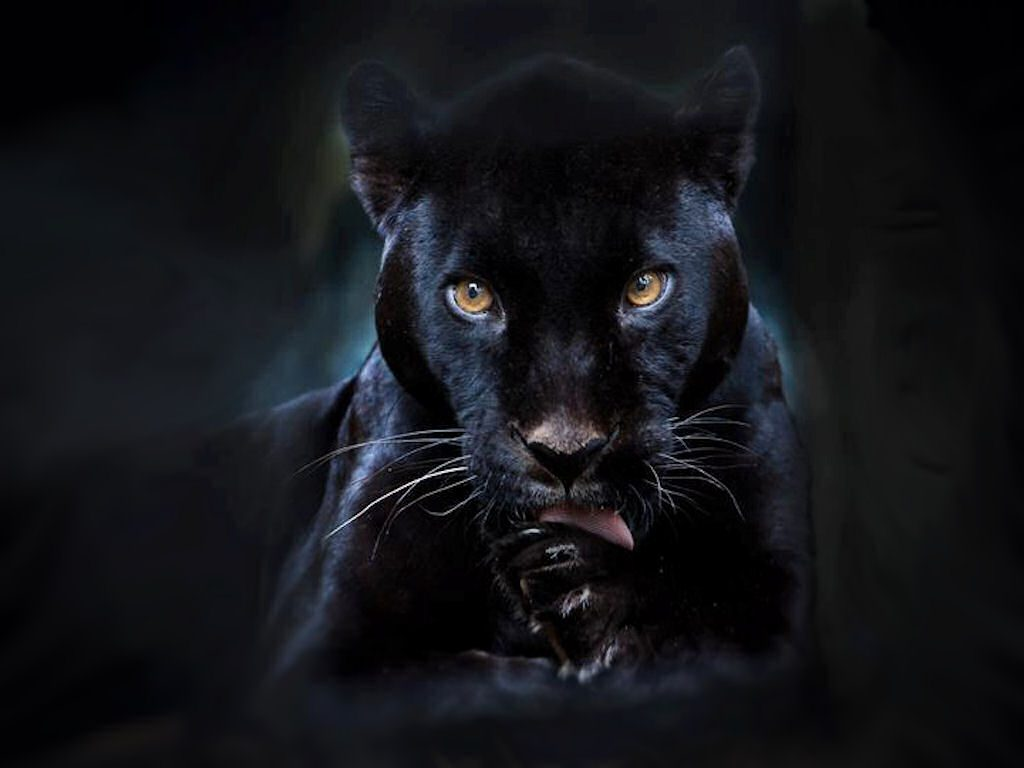 black-panther-wallpaper-PIC-MCH047552-1024x768 Free Wallpaper Black Panther 40+