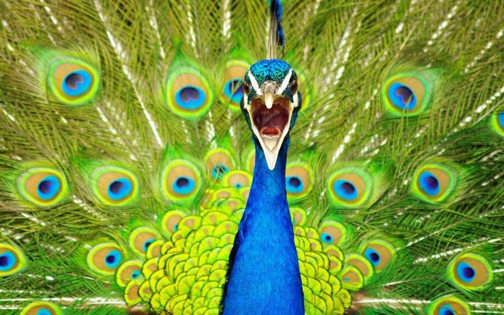 blue-peacock-wallpaper-national-geographic-PIC-MCH048319-1024x640 Nat Geo Wallpapers Animals 53+