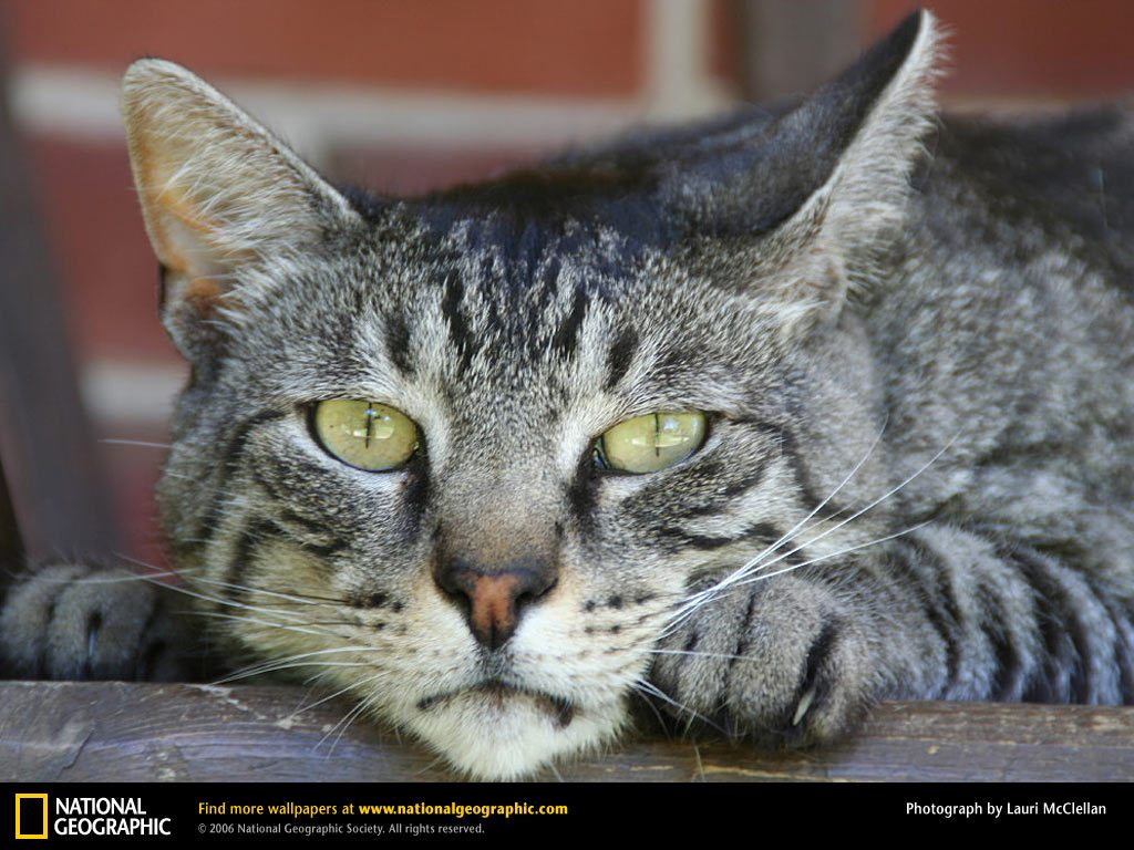 domestic-cat-PIC-MCH059441-1024x768 Nat Geo Wallpapers Animals 53+