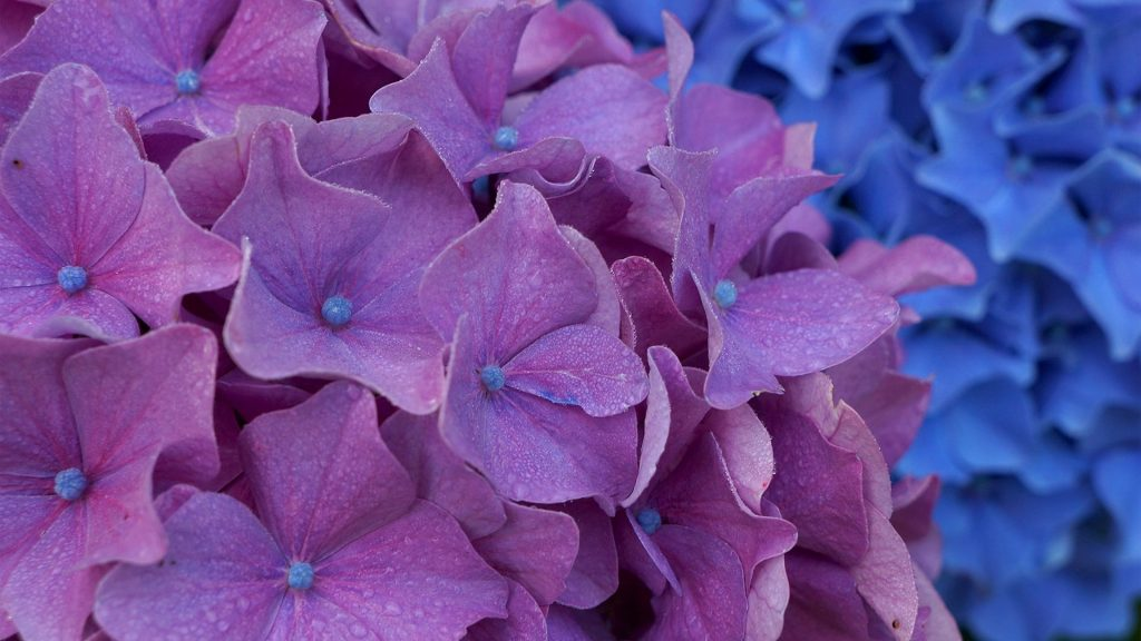 flowers-hydrangeas-flower-purple-macro-wallpaper-for-mobile-hd-x-PIC-MCH064360-1024x576 Hydrangea Wallpaper Iphone 28+