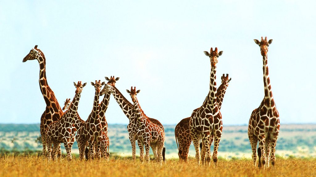 giraffe-images-PIC-MCH018775-1024x576 Giraffe Hd Wallpapers For Pc 47+