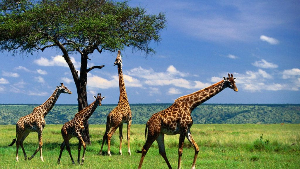 giraffe-the-animal-kingdom-wallpaper-x-PIC-MCH068493-1024x576 Giraffe Hd Wallpapers For Pc 47+