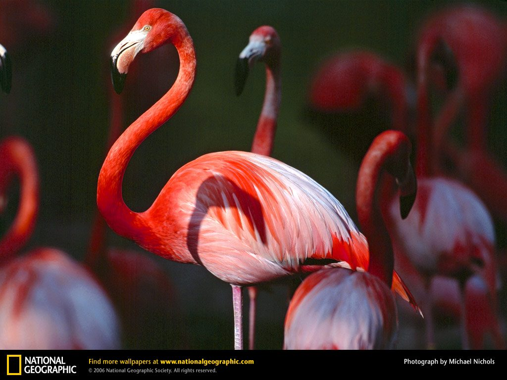 greater-flamingo-PIC-MCH069684-1024x768 Nat Geo Wallpapers Animals 53+