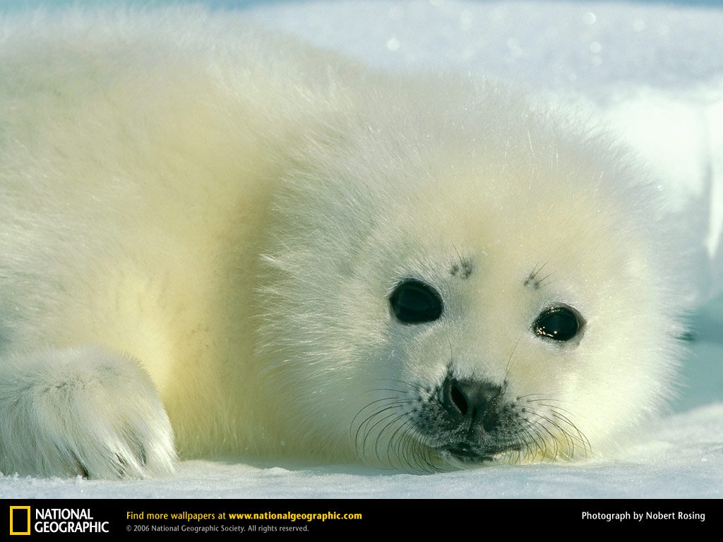 harp-seal-baby-PIC-MCH071309-1024x768 Nat Geo Wallpapers Animals 53+