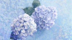 Hydrangea Wallpaper Desktop 36+