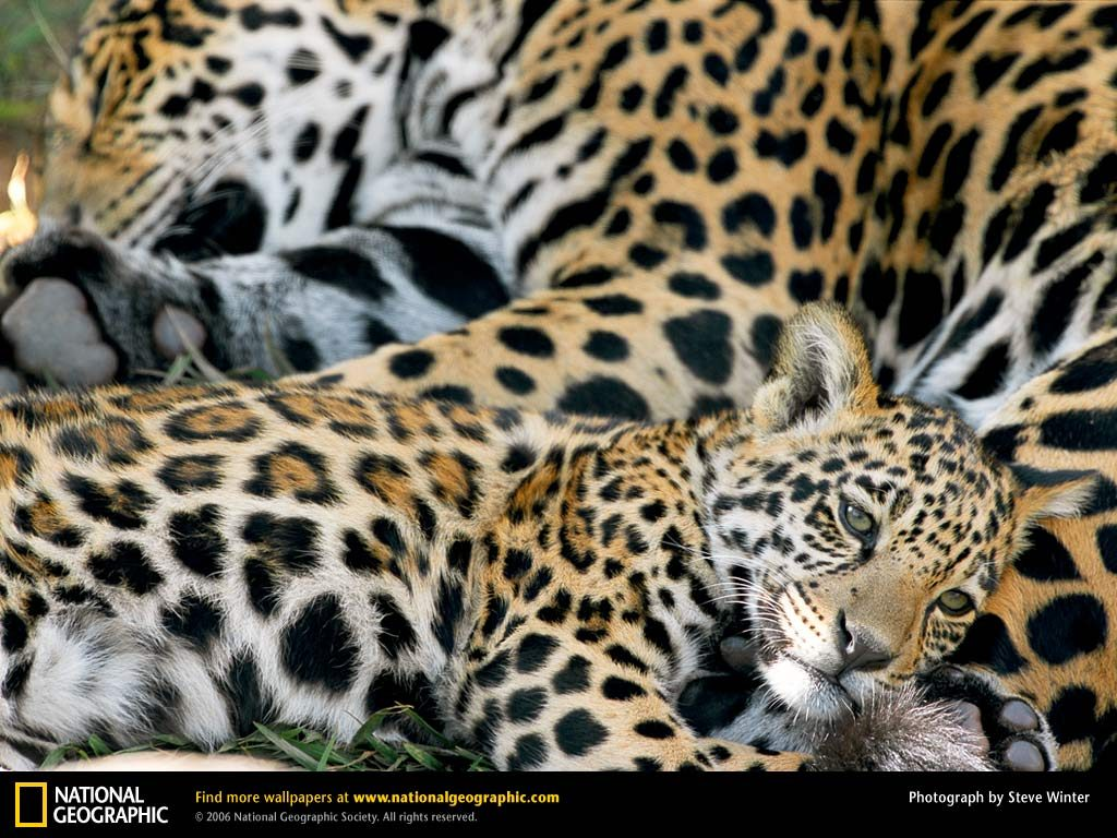 jaguar-mom-and-baby-PIC-MCH078290-1024x768 Nat Geo Wallpapers Animals 53+