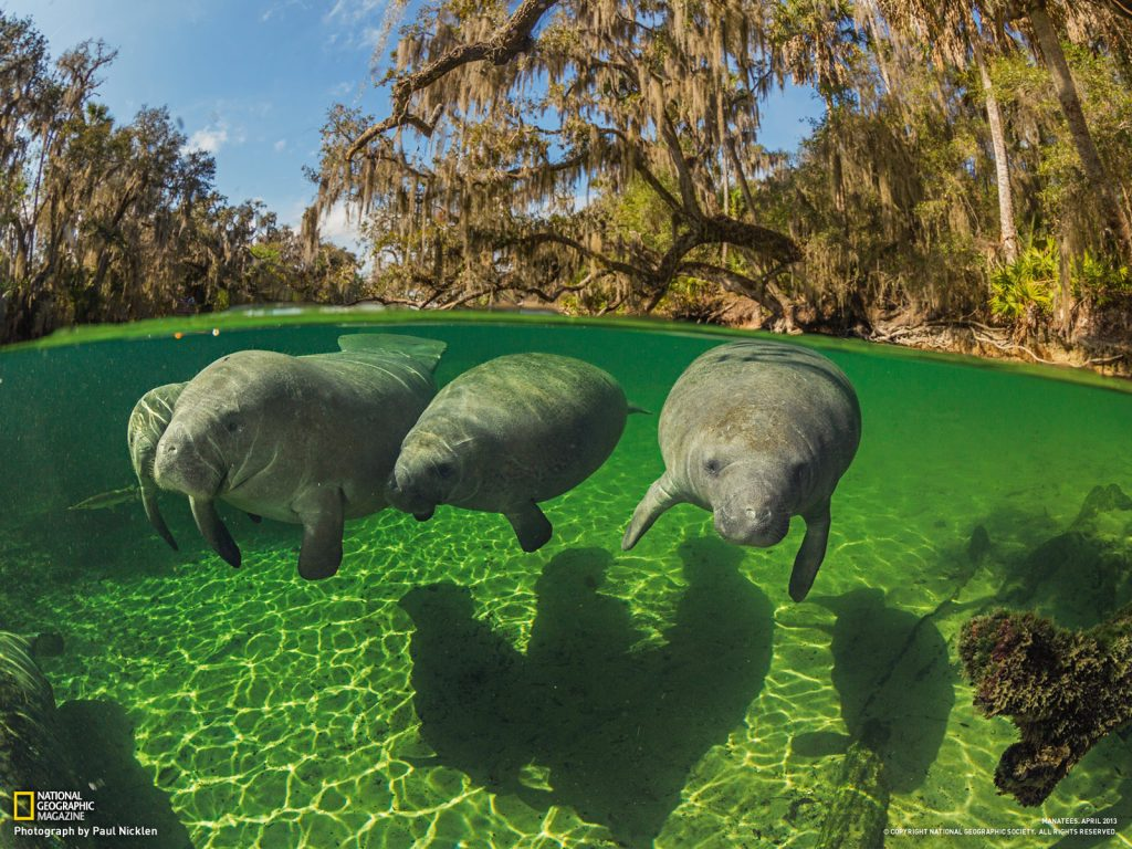 manatees-swim-close-to-surface-PIC-MCH0209-1024x768 Nat Geo Wallpaper 2016 33+
