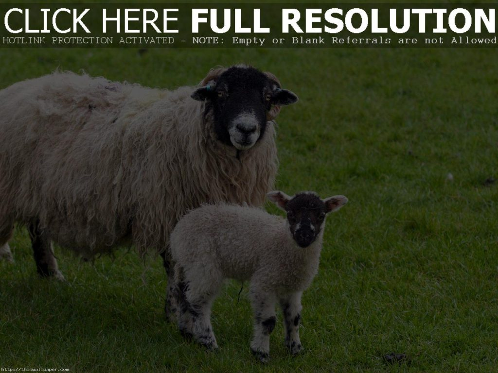 sheep-lamb-awesome-hd-new-wallpaper-PIC-MCH0101286-1024x768 Sheep Wallpaper Hd 40+
