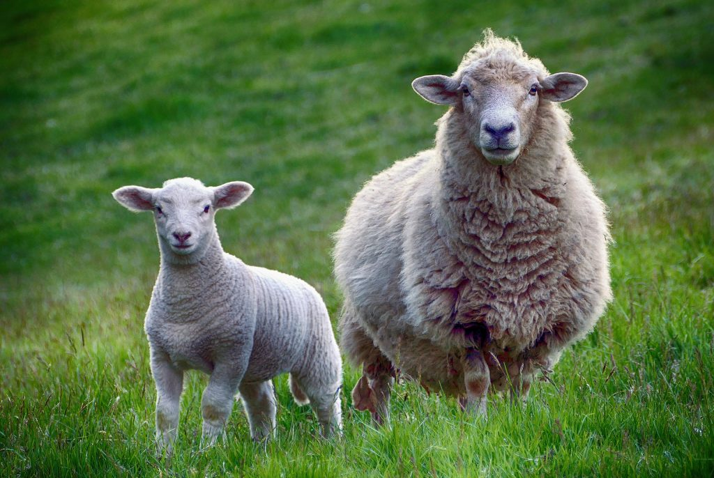 sheep-wallpaper-PIC-MCH0101302-1024x686 Sheep Wallpaper Hd 40+