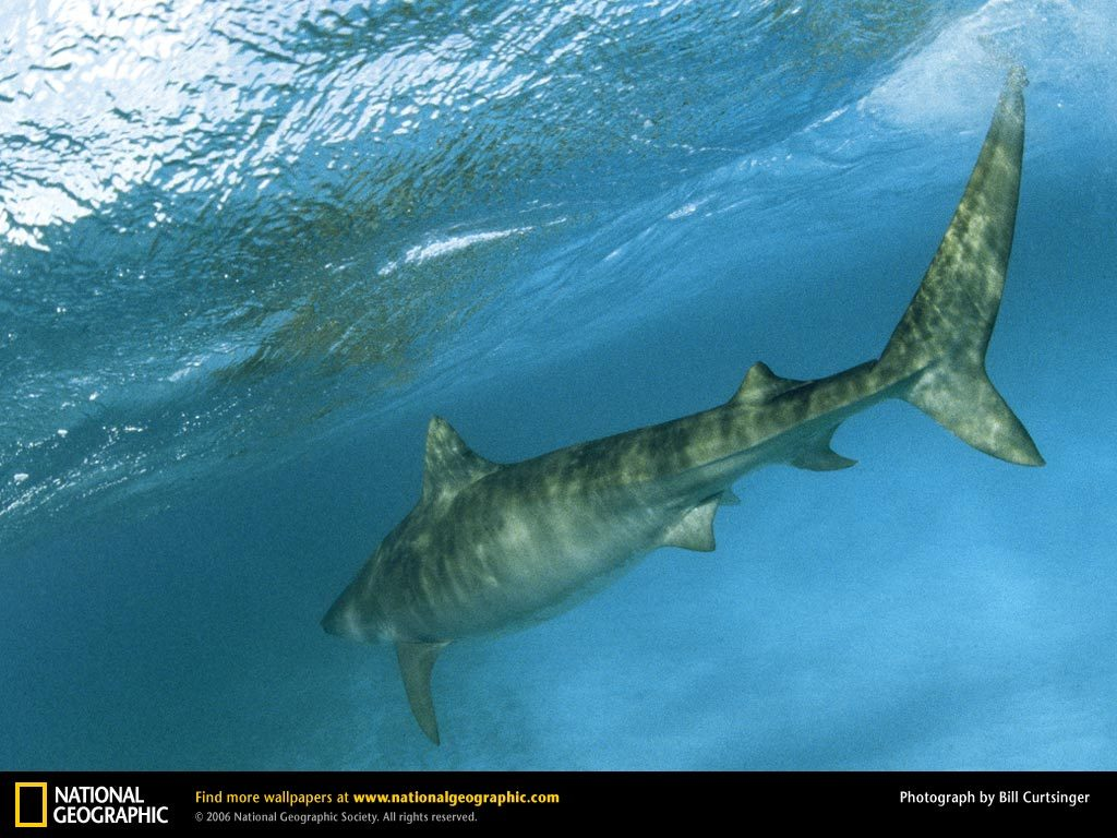 tiger-shark-underwater-PIC-MCH0107430-1024x768 Nat Geo Wallpaper Mac 33+