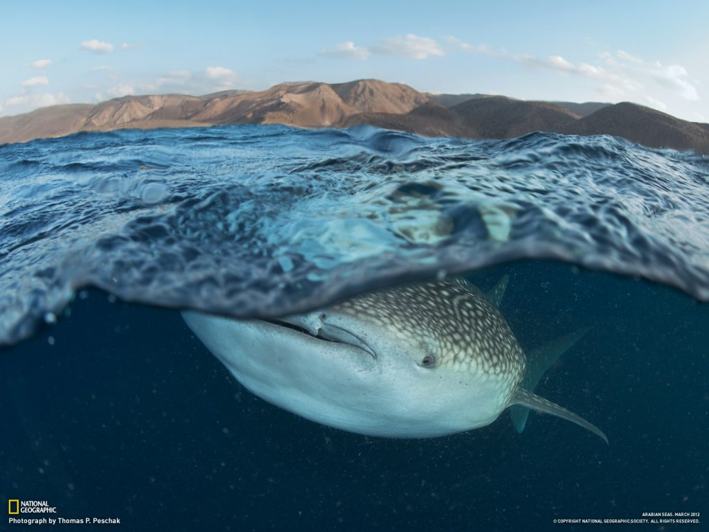whale-shark-eats-plankton-PIC-MCH0277-1024x768 Nat Geo Wallpaper Mac 33+