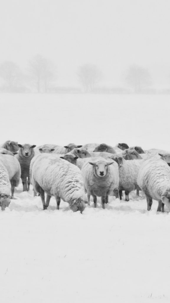 winter-sheep-PIC-MCH0116930-576x1024 Sheep Wallpaper Iphone 32+