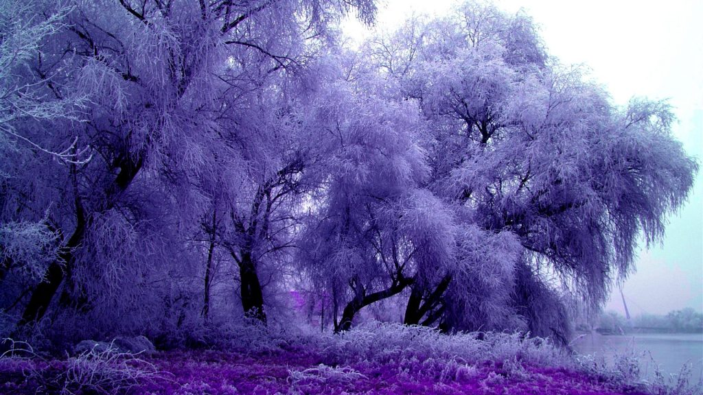 winter-trees-feathery-splendor-purple-nature-astonishing-wallpaper-national-geographic-x-PIC-MCH0116954-1024x576 Nat Geo Wallpaper 2016 33+