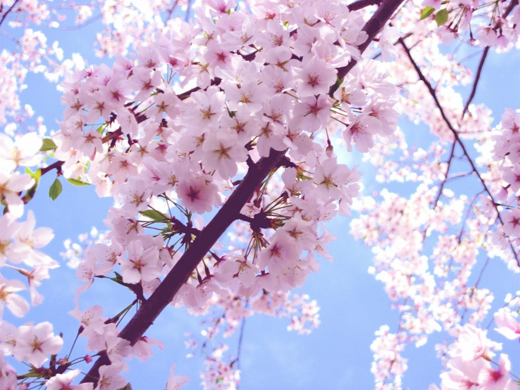 Beautiful-Cherry-Blossom-cherry-blossom-PIC-MCH044762-1024x768 Blossom Wallpaper Pink 33+