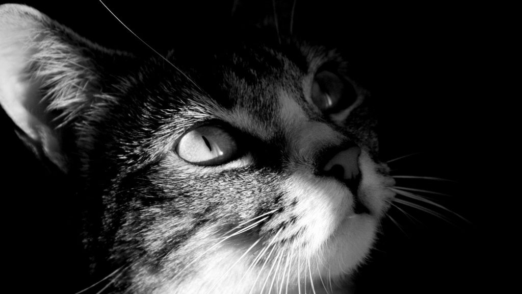 Cat-Backgrounds-free-download-PIC-MCH051513-1024x576 Hd Cat Wallpapers Free 49+